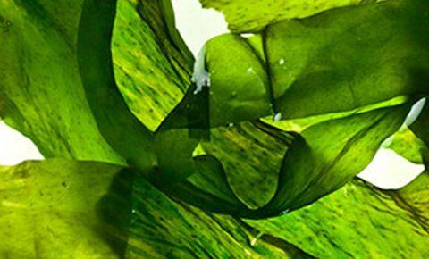 Alga, entre los alimentos más nutritivos